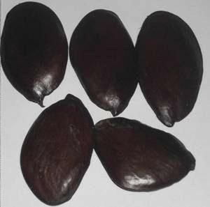 oil bean